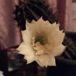 кактус зацвів