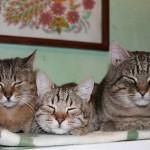котяча родина